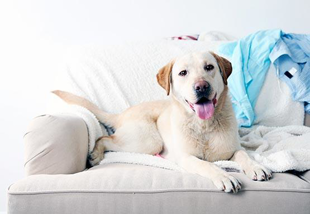 dog in clean house thanks to pet friendly cleaning services