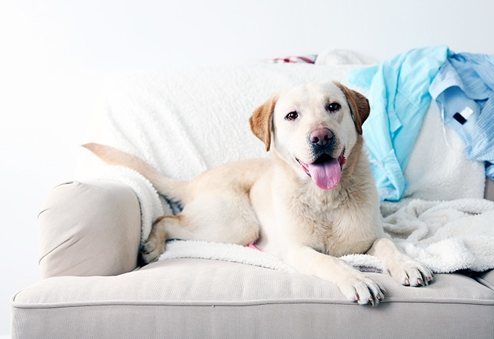 dog sitting on couch in house cleaned with maid right housekeeping services